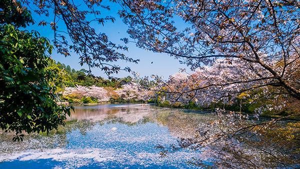 Kyoto during sakura season