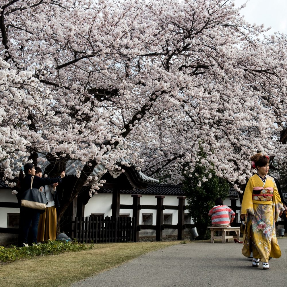 Sakura viewing