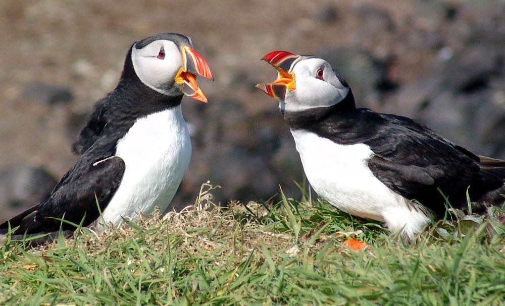 https://grapevine.is/news/2018/11/08/icelands-puffin-although-threatened-still-appears-on-menus/