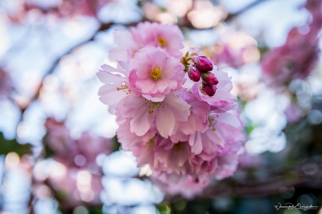 Cherry Blossoms in Bispebjerg Kirkegård in Denmark